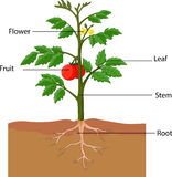 Showing the parts of a tomato plant Stock Photos