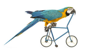 Side view of a Blue-and-yellow Macaw, Ara ararauna, 30 years old, riding a blue bicycle Royalty Free Stock Photo