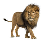 Side view of a Lion walking, Panthera Leo, 10 years old Royalty Free Stock Photo