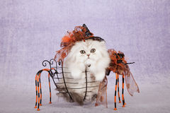 Silver Chinchilla kitten wearing Halloween witch hat sitting inside spider shape metal basket Royalty Free Stock Images