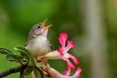 Singing bird Royalty Free Stock Photo