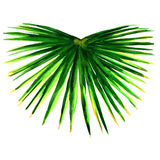 Single green palm leaf isolated Stock Photography