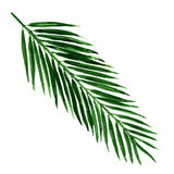 Single green palm leaf isolated Royalty Free Stock Photo