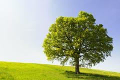 Single Tree on Hill Royalty Free Stock Photos