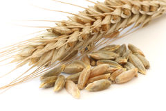Single wheat spike Stock Image