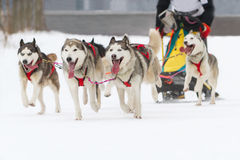 Sled dog race on snow in winter Royalty Free Stock Photos