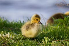 Sly sight of a chick Royalty Free Stock Image