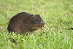 Small and cute mammal in pampas Stock Photo