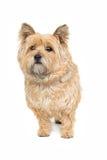 Small fluffy white dog Royalty Free Stock Photos