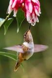 Small Volcano Hummingbird Stock Photo