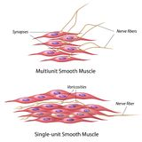 Smooth muscle innervation Stock Photos