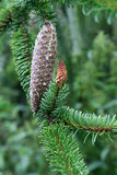 Snake spruce Stock Images