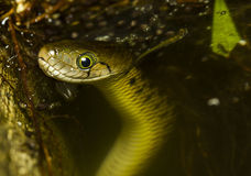 Snake in the water. Stock Image