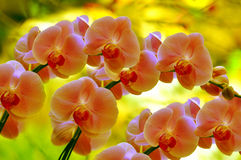 Sonata of orchids Stock Images
