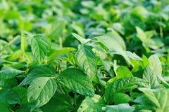 Soybean plants Stock Image