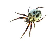 Spider. Royalty Free Stock Image