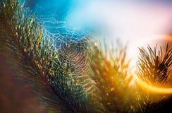 Spider web on pine Stock Image