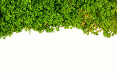 Spike Moss Royalty Free Stock Images