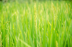 Spike of rice Stock Images