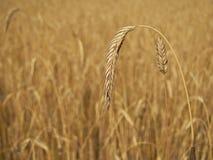 Spike of wheat on organic field Stock Image