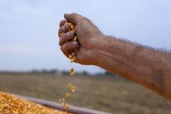 Spilling freshly harvested corn maize seeds grains Stock Image