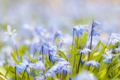 Spring blue flowers Stock Images