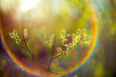 Spring buds and lens flare Stock Photos