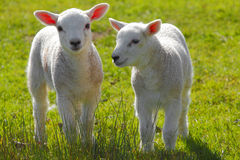 Spring lambs Royalty Free Stock Photos