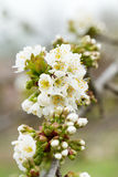 Spring tree white flowers Stock Images