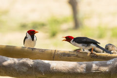 Squawking Conversation amongst Yellow-billed Cardinals Stock Images