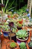 Succulent plants pot Royalty Free Stock Images