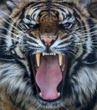Sumatran tiger roar Stock Photography