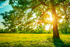Summer Sunny Forest Trees And Green Grass. Nature Stock Photography
