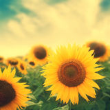 Sun flowers in field Royalty Free Stock Photos