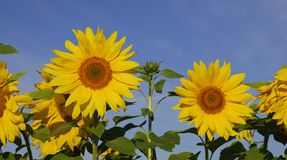 Sunflowers. Stock Images
