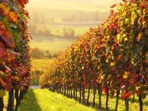 Sunlit colored vineyard Stock Image