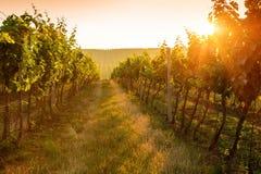 Sunrise over a vineyard Stock Photos