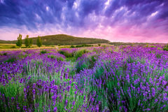 Sunset over a summer lavender field in Tihany, Hungary Stock Images