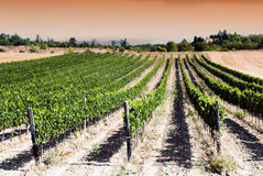 Sunset in a vineyard Royalty Free Stock Photos