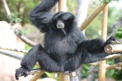 svart gibbonapazoo Arkivbild