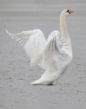 Swan bird Stock Photo
