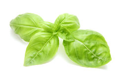 Sweet basil leaves Stock Images