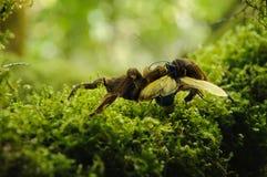 Tarantula and hawk wasp Stock Photos