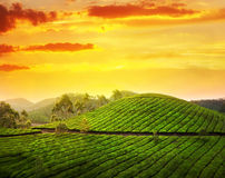 Tea plantation in Munnar Stock Photo
