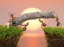Team of ants work constructing bridge, teamwork Stock Photos