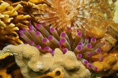Tentakel av havsanemonen mellan korall och avmaskar Arkivfoto