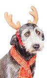Terrier Dog Wearing Christmas Reindeer Ears Stock Image