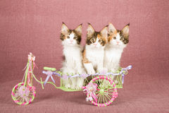 Three Calico Maine Coon kittens sitting inside decorated white metal wagon decorated with ribbons and bows Stock Photography