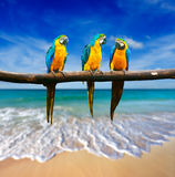 Three parrots (Blue-and-Yellow Macaw (Ara ararauna) also known a Stock Image