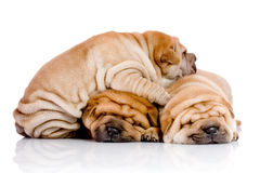 Three Shar Pei baby dogs Royalty Free Stock Photo